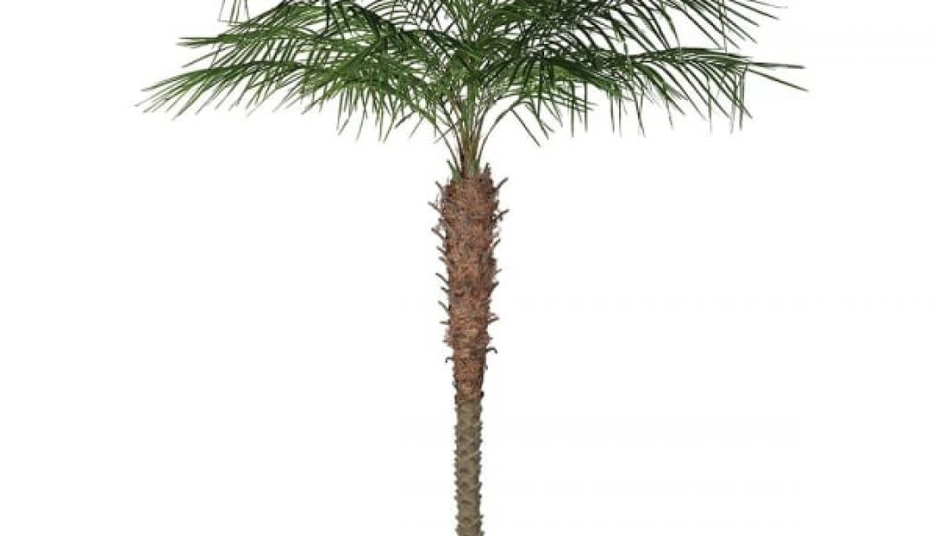 Green Coconut Palm Tree in Black Plastic Pot